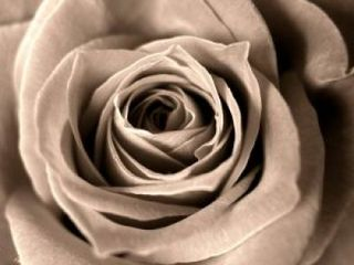 Rose_dark_death_220937_l