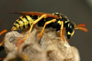 Absolutwade_model_wasp_255102_l